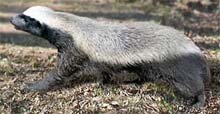 Honey Badger (Mellivora capensis) © Toursa