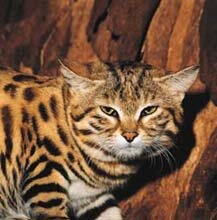 Small spotted cat © SA Tourism