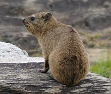 Rock Dassie © Toursa