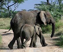 Elephant Cow and her calf © M Witney