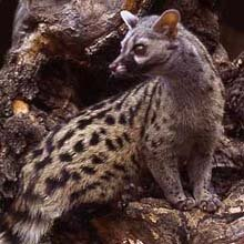 Small Spotted Genet © Toursa