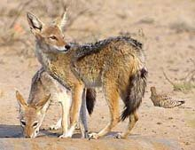 Black Backed Jackal © A Lienard