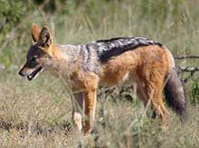 Black Backed Jackal © D Beyers
