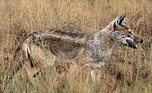 Side Striped Jackal © TourSA