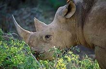 Black Rhino showing hooked lip © SA Tourism