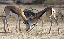 Springbok male fighting © A Lienard
