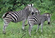Zebra Mare and her foal © C Du Plessis