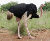 Amazing animal facts about the Ostrich