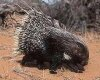 Amazing animal facts about the Porcupine